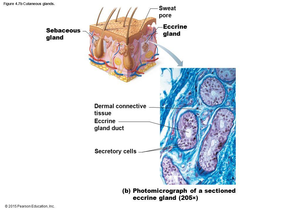 Figure 4.7b Cutaneous glands.