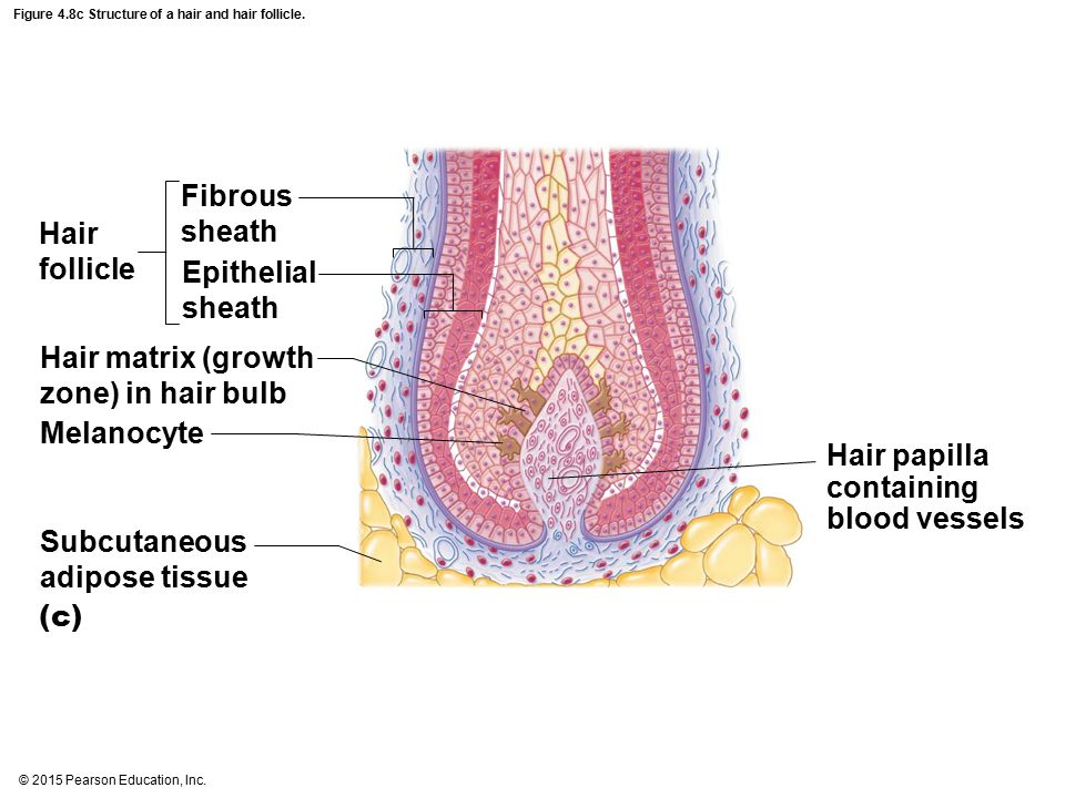 Figure 4.8c Structure of a hair and hair follicle.