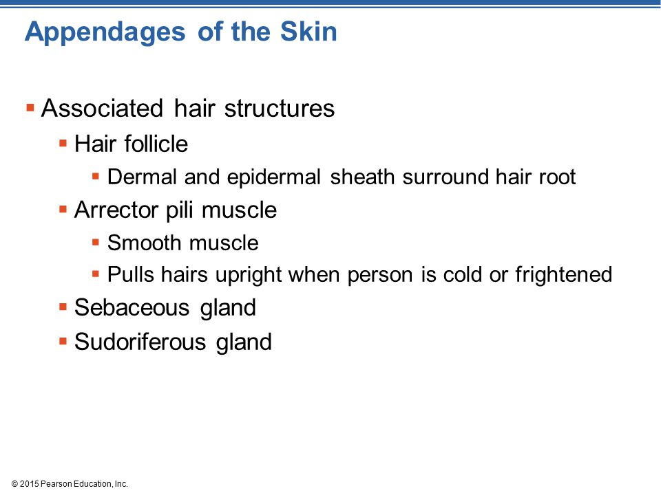 Appendages of the Skin Associated hair structures Hair follicle