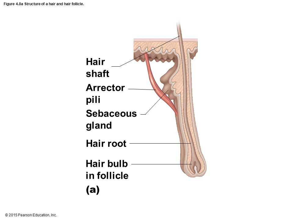 Figure 4.8a Structure of a hair and hair follicle.