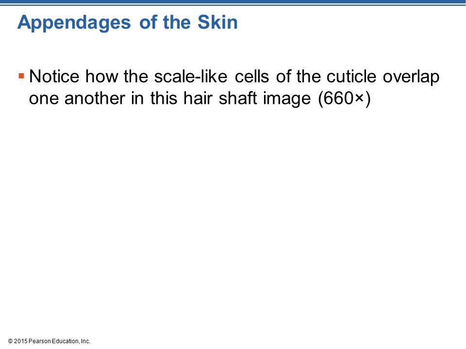 Appendages of the Skin Notice how the scale-like cells of the cuticle overlap one another in this hair shaft image (660×)
