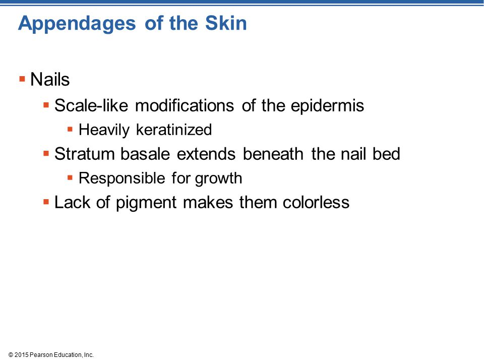 Appendages of the Skin Nails Scale-like modifications of the epidermis