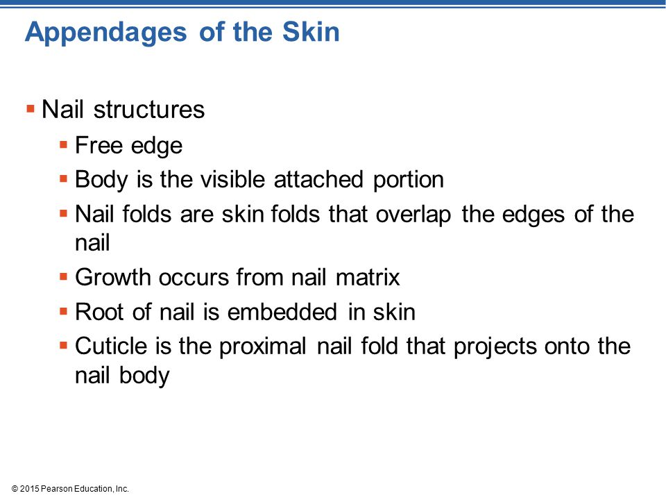 Appendages of the Skin Nail structures Free edge