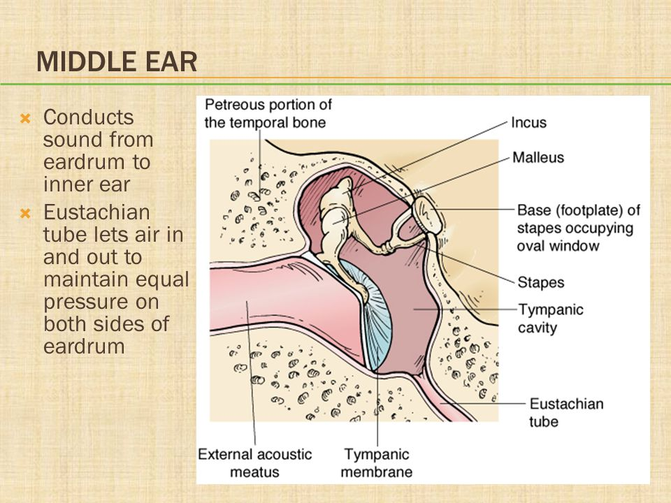 Middle Ear Conducts sound from eardrum to inner ear
