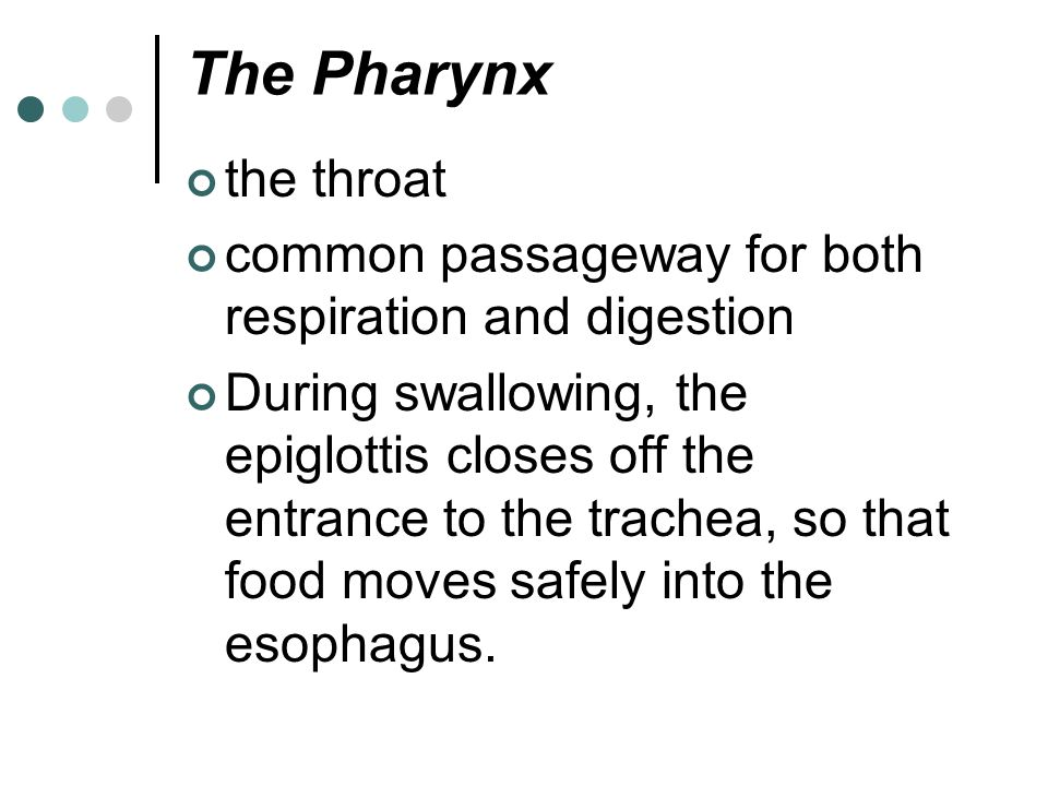 The Pharynx the throat. common passageway for both respiration and digestion.
