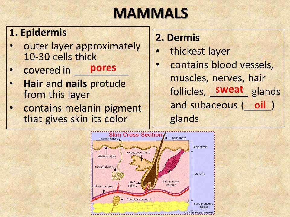 MAMMALS 1. Epidermis 2. Dermis
