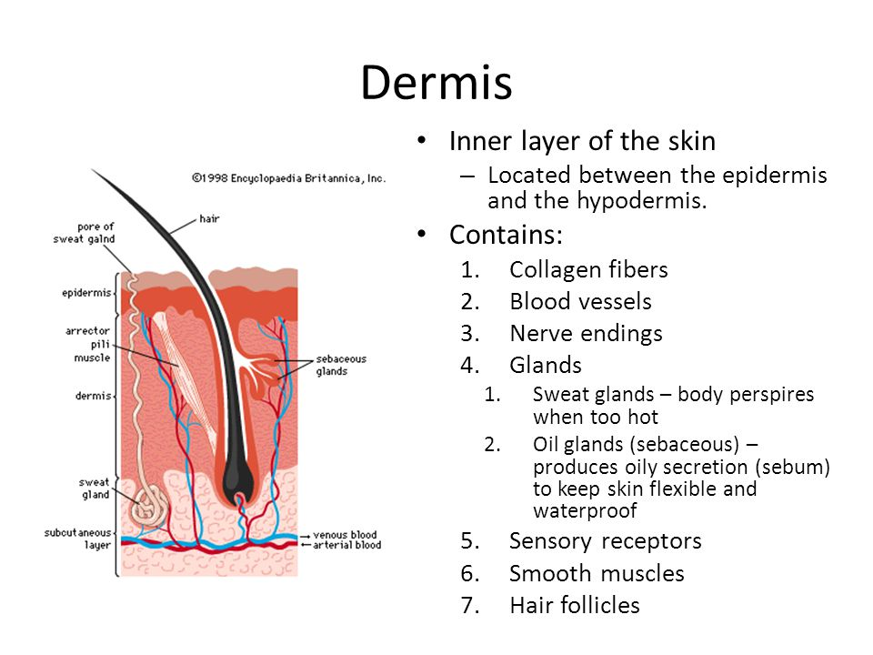 Dermis Inner layer of the skin Contains: