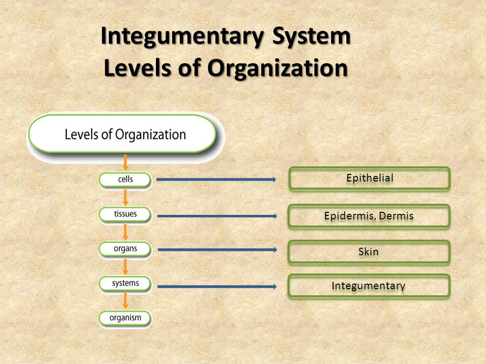 Integumentary System Levels of Organization