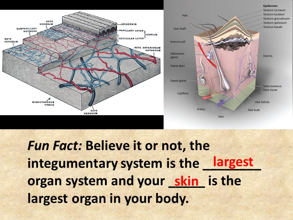 Fun Fact: Believe it or not, the integumentary system is the ________ organ system and your _____ is the largest organ in your body.