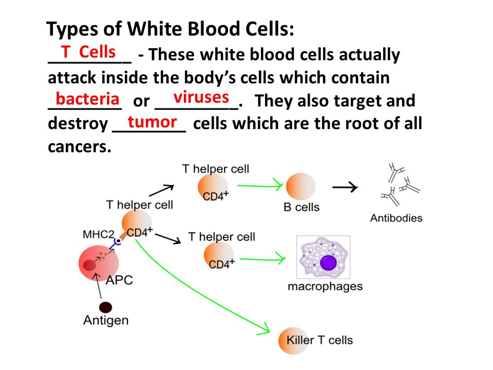 Types of White Blood Cells: