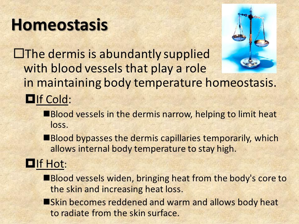 Homeostasis The dermis is abundantly supplied with blood vessels that play a role in maintaining body temperature homeostasis.