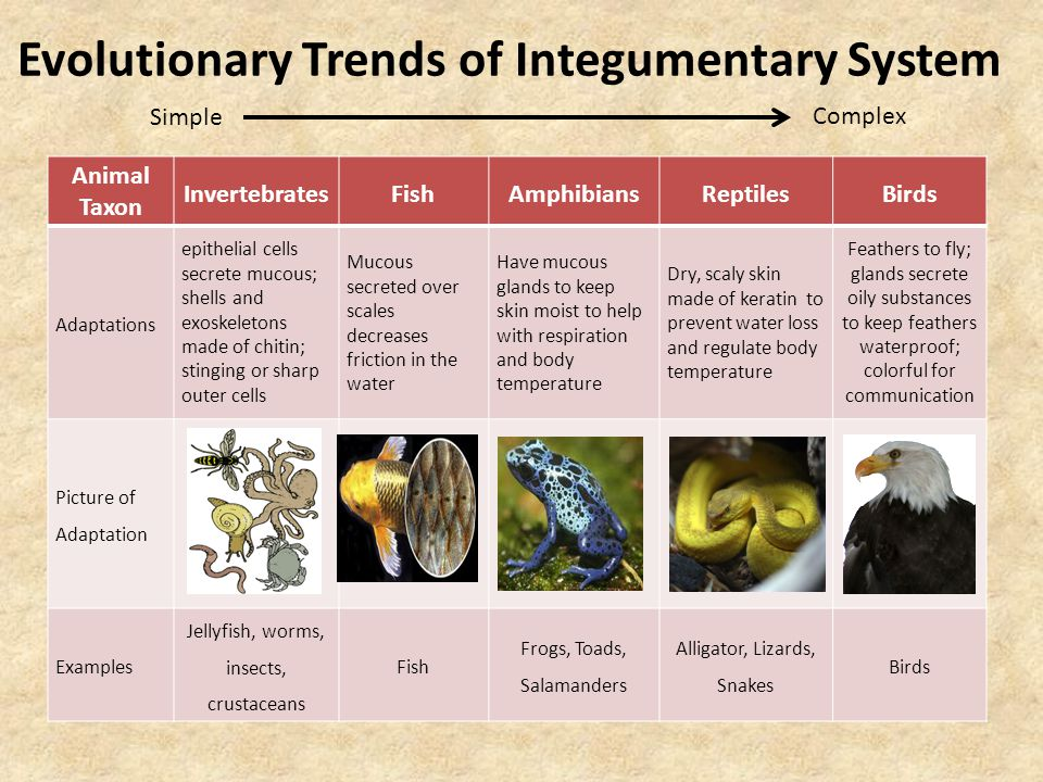Evolutionary Trends of Integumentary System