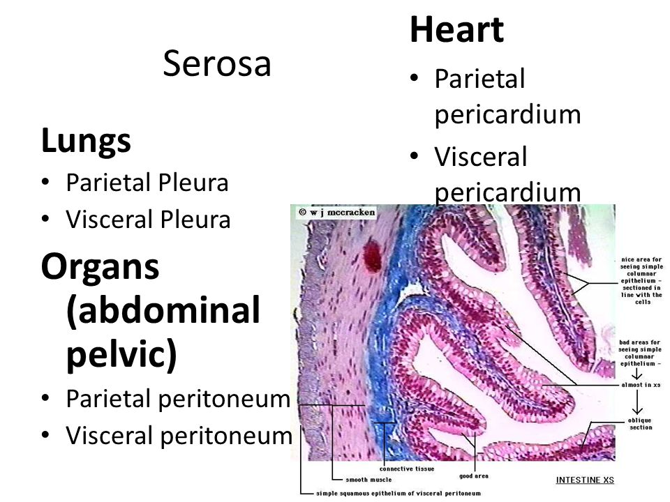 Organs (abdominal pelvic)