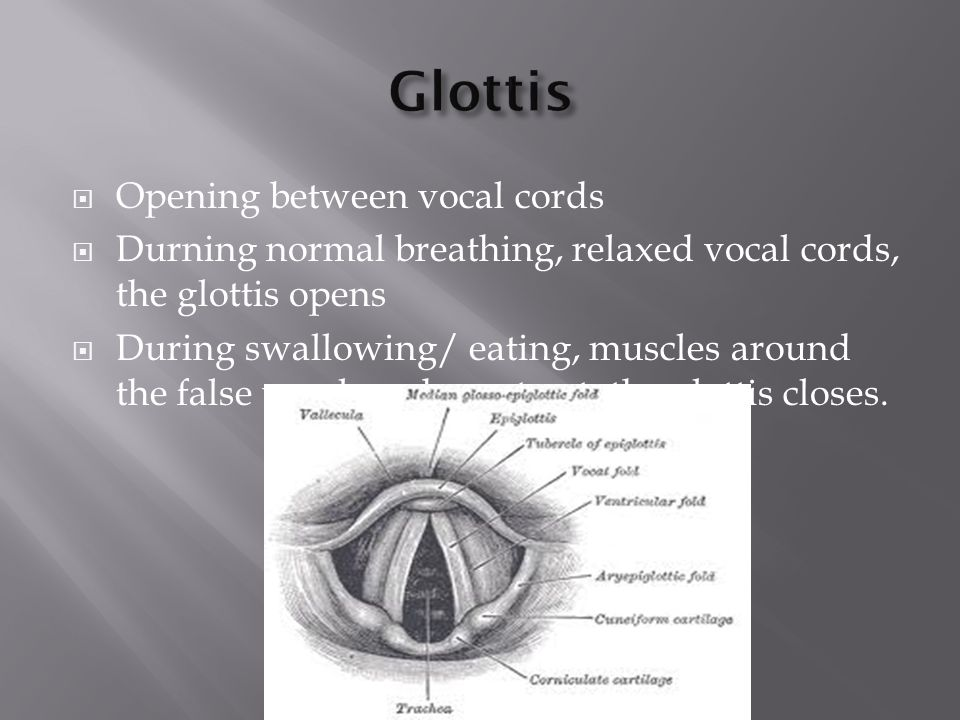 Glottis Opening between vocal cords