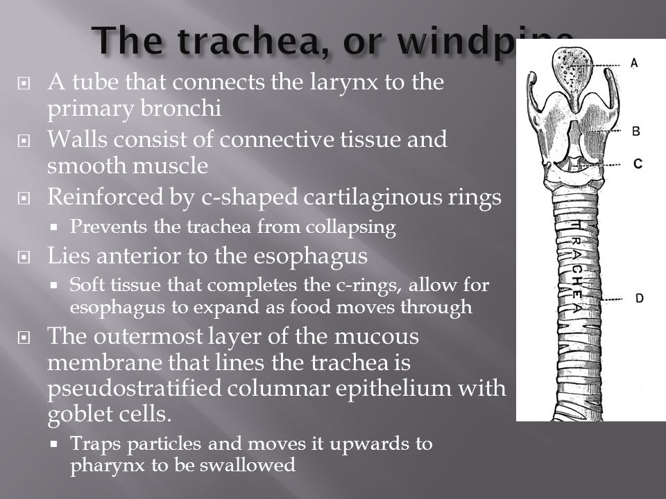 The trachea, or windpipe
