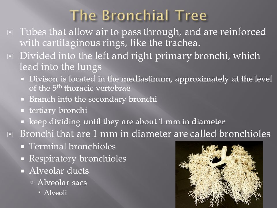 The Bronchial Tree Tubes that allow air to pass through, and are reinforced with cartilaginous rings, like the trachea.