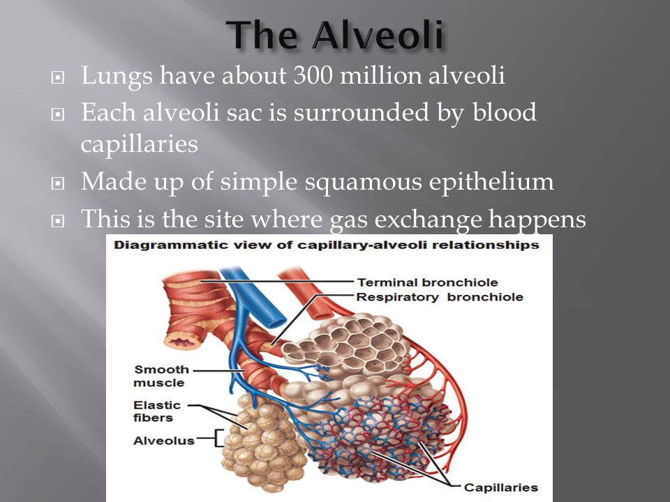 The Alveoli Lungs have about 300 million alveoli