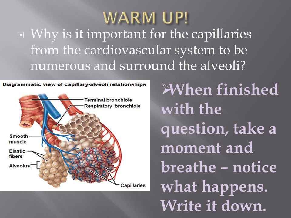 WARM UP! Why is it important for the capillaries from the cardiovascular system to be numerous and surround the alveoli