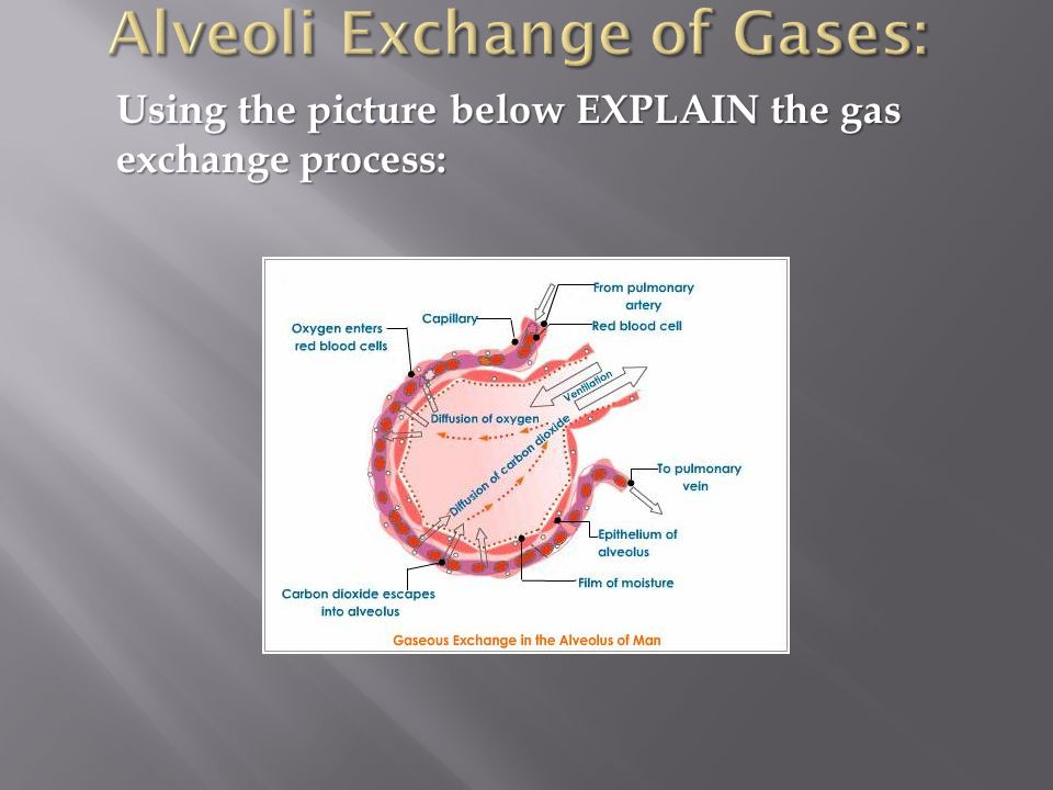 Alveoli Exchange of Gases: