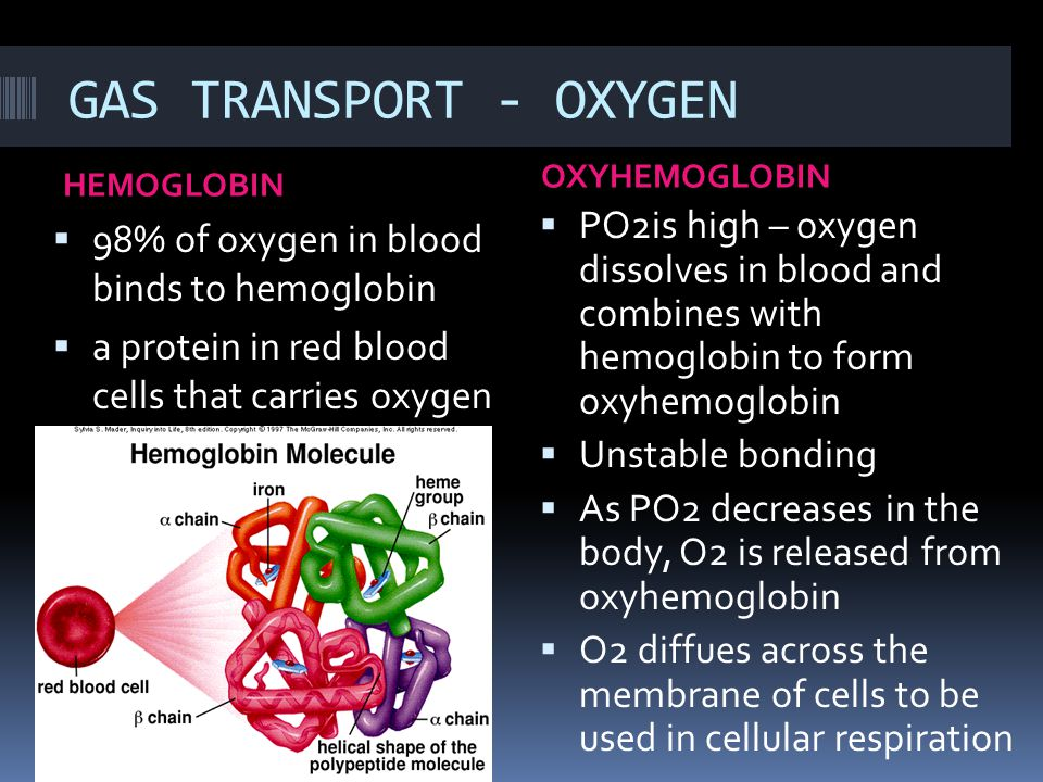 GAS TRANSPORT - OXYGEN OXYHEMOGLOBIN. HEMOGLOBIN. PO2is high – oxygen dissolves in blood and combines with hemoglobin to form oxyhemoglobin.