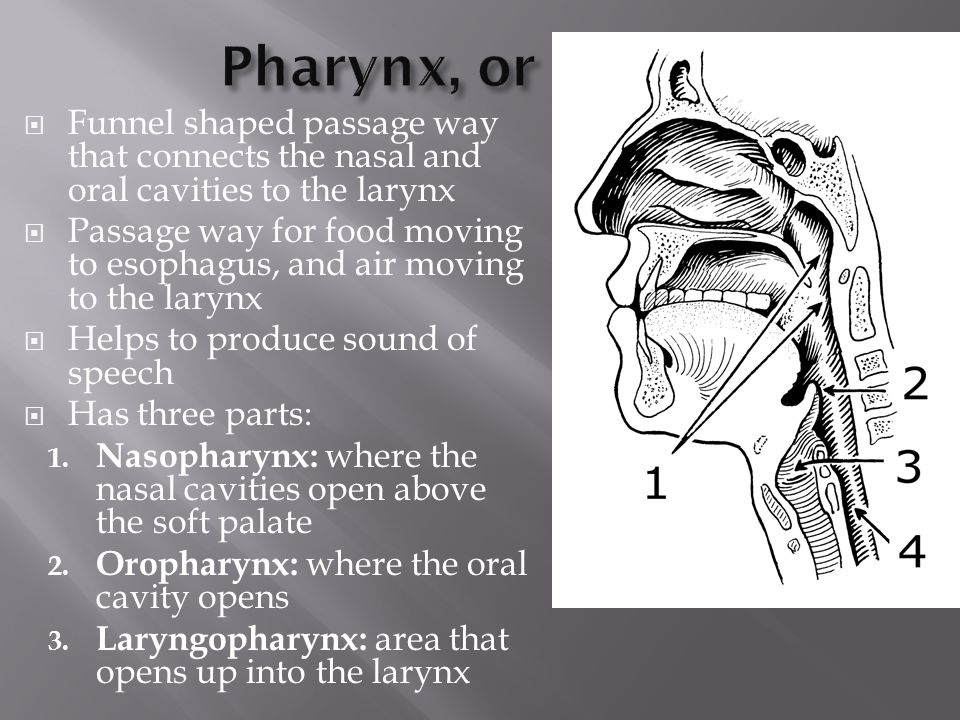 Pharynx, or Throat Funnel shaped passage way that connects the nasal and oral cavities to the larynx.
