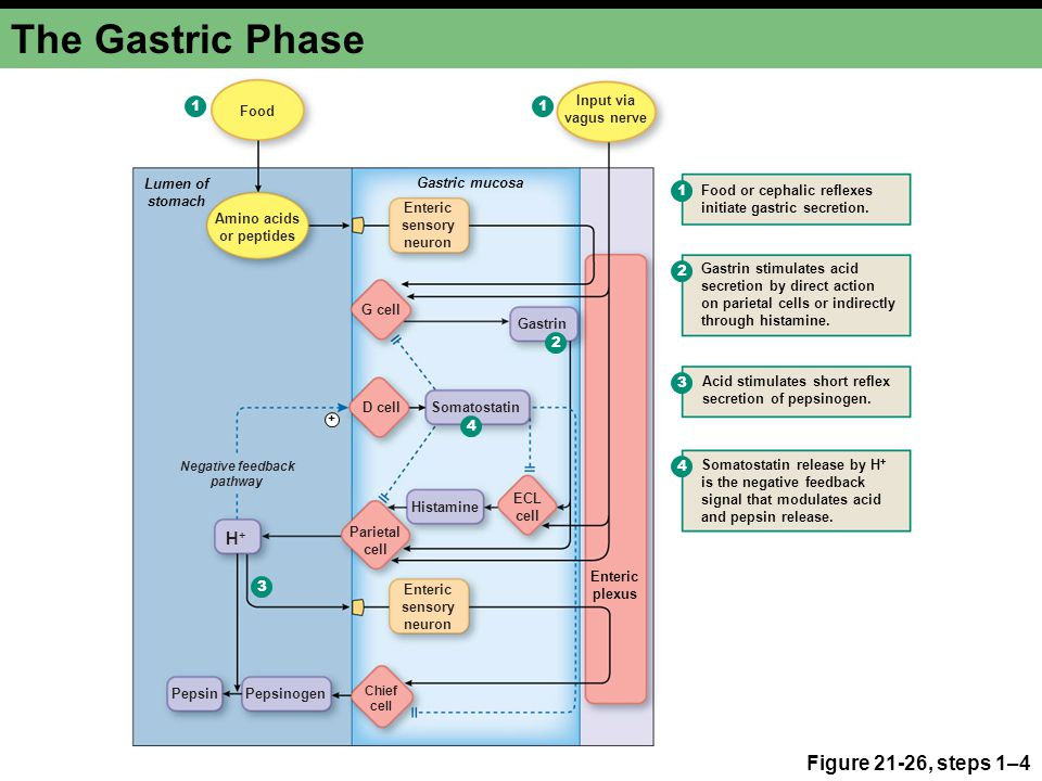 The Gastric Phase Figure 21-26, steps 1–4 H+ 1 1 Input via vagus nerve