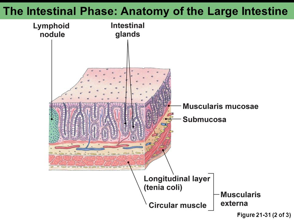 The Intestinal Phase: Anatomy of the Large Intestine