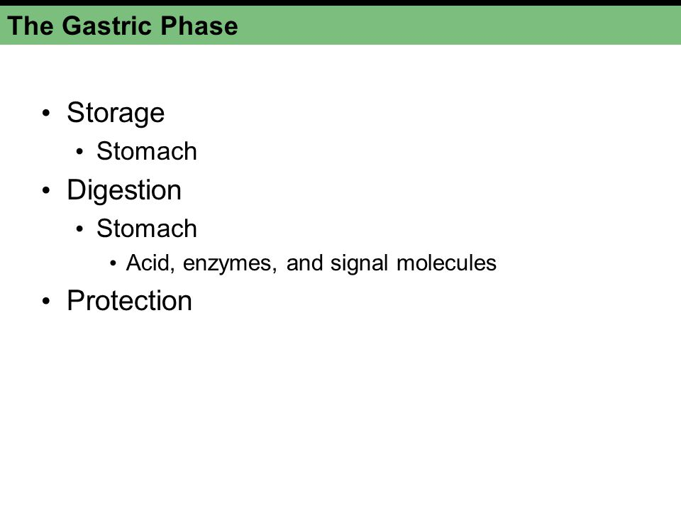 Storage Digestion Protection The Gastric Phase Stomach