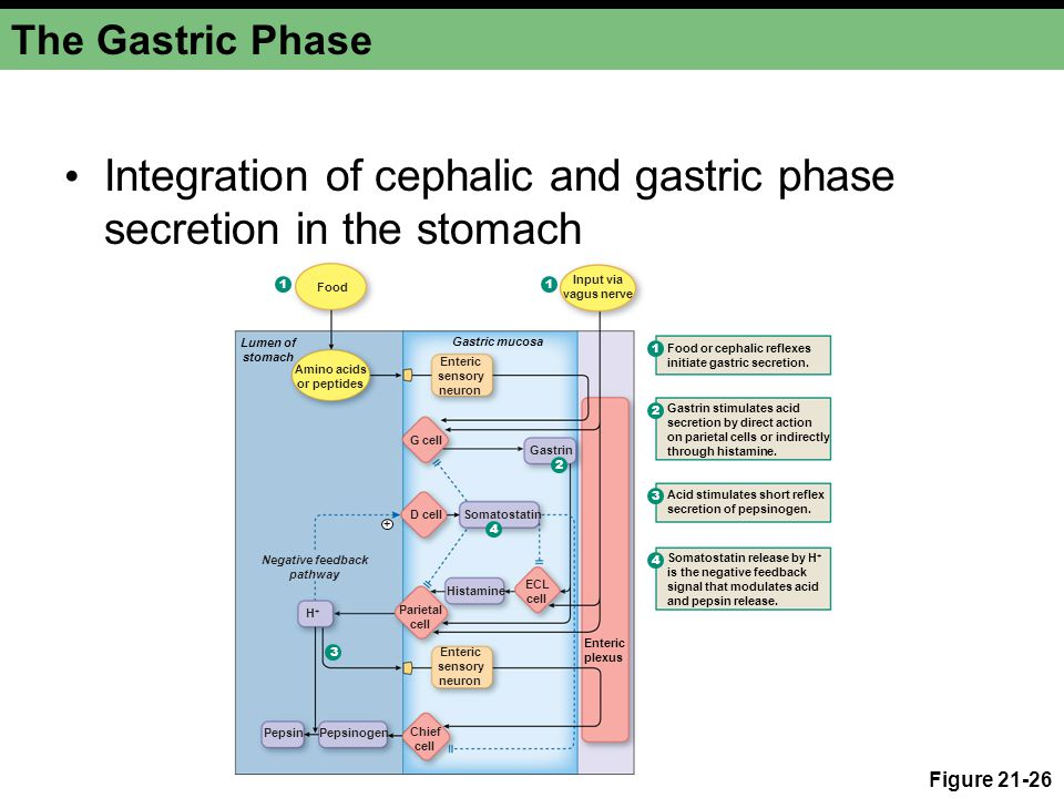 Integration of cephalic and gastric phase secretion in the stomach