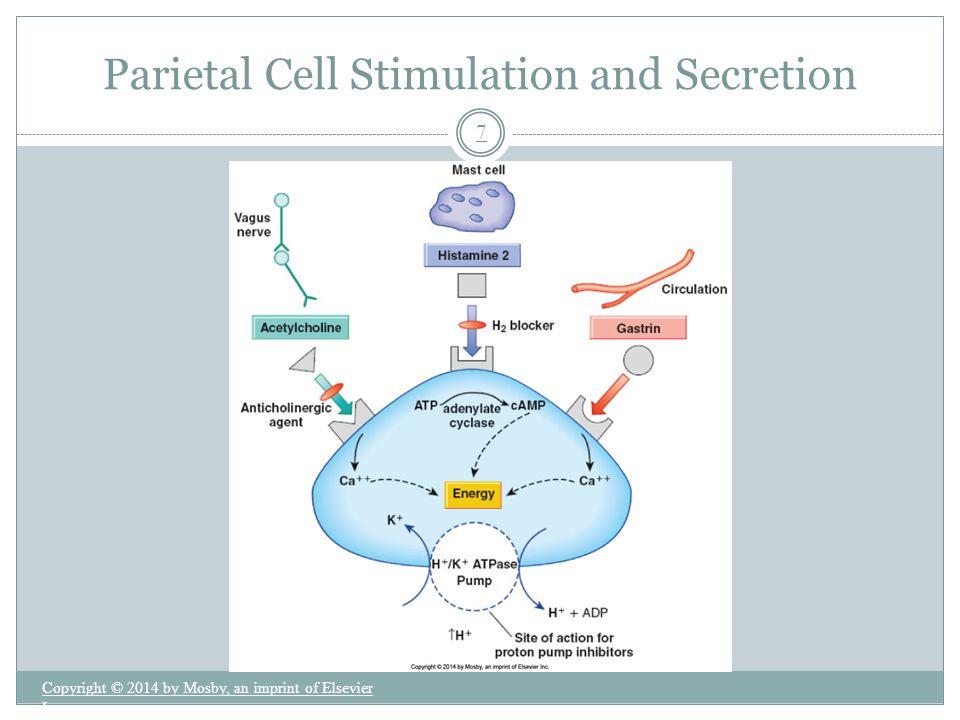 Parietal Cell Stimulation and Secretion