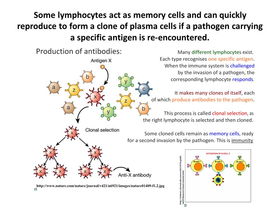 Some lymphocytes act as memory cells and can quickly reproduce to form a clone of plasma cells if a pathogen carrying a specific antigen is re-encountered.