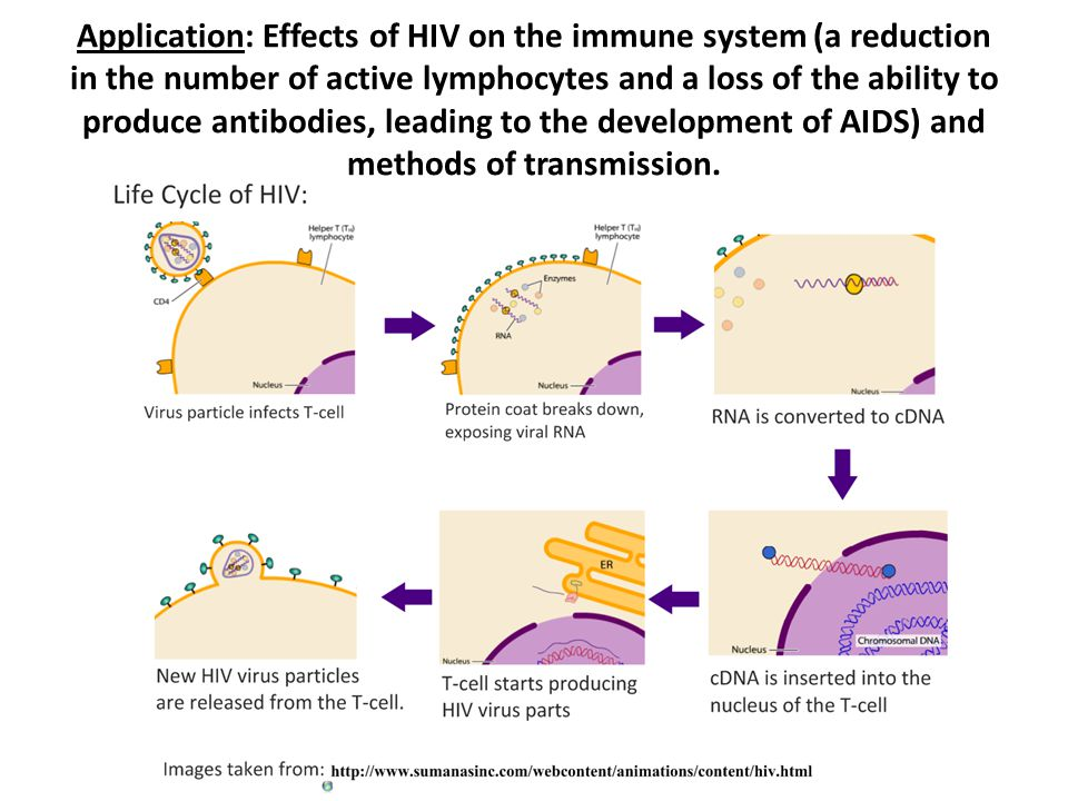 Application: Effects of HIV on the immune system (a reduction in the number of active lymphocytes and a loss of the ability to produce antibodies, leading to the development of AIDS) and methods of transmission.