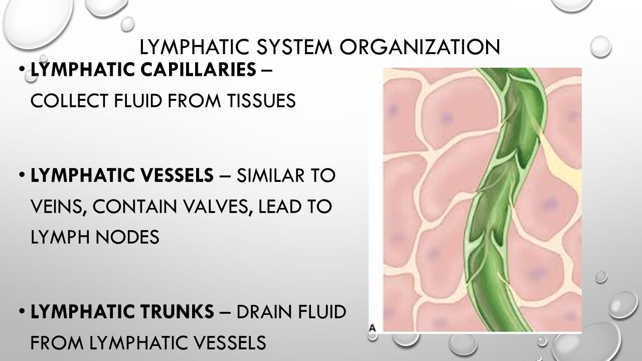 Lymphatic system organization