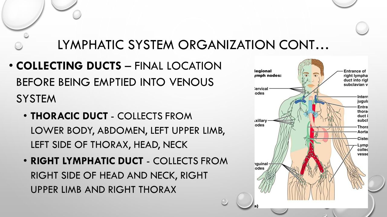 Lymphatic system organization cont…