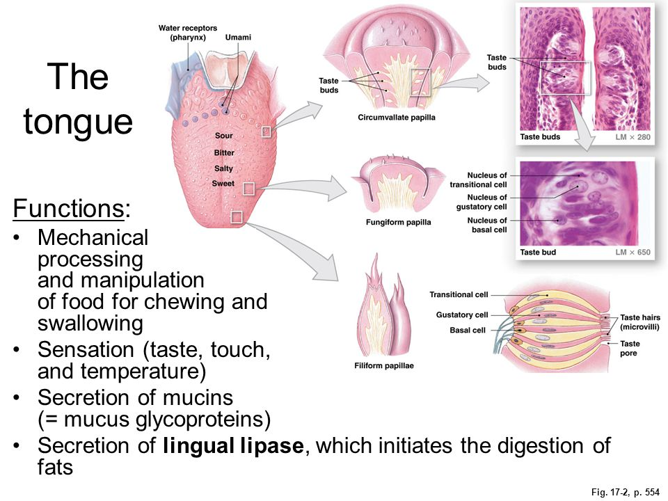 The tongue Functions: