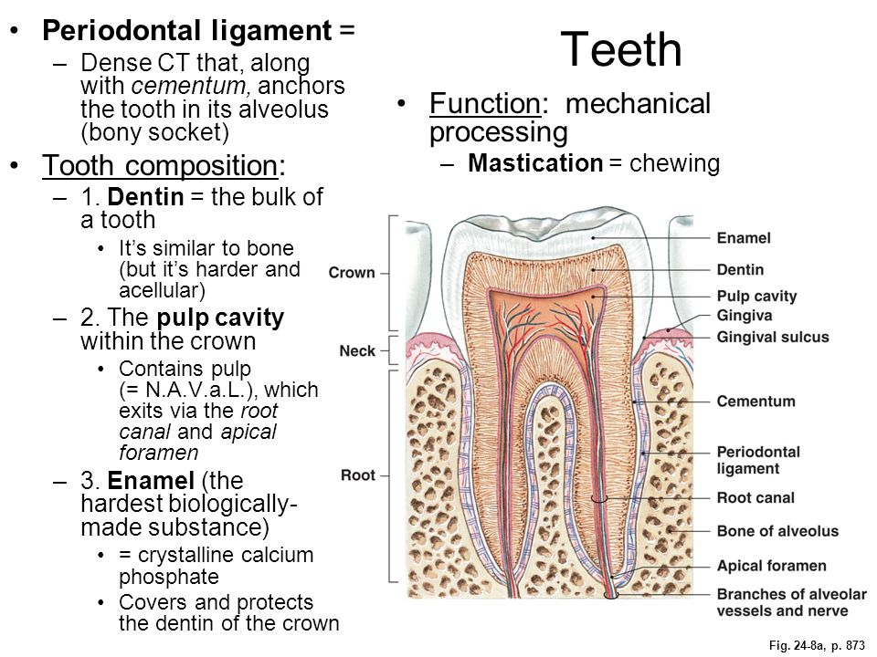 Teeth Periodontal ligament = Tooth composition:
