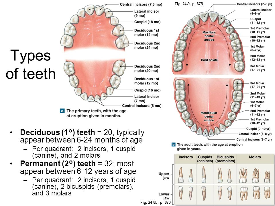 Fig. 24-9, p. 875 Types of teeth. Deciduous (1°) teeth = 20; typically appear between 6-24 months of age.
