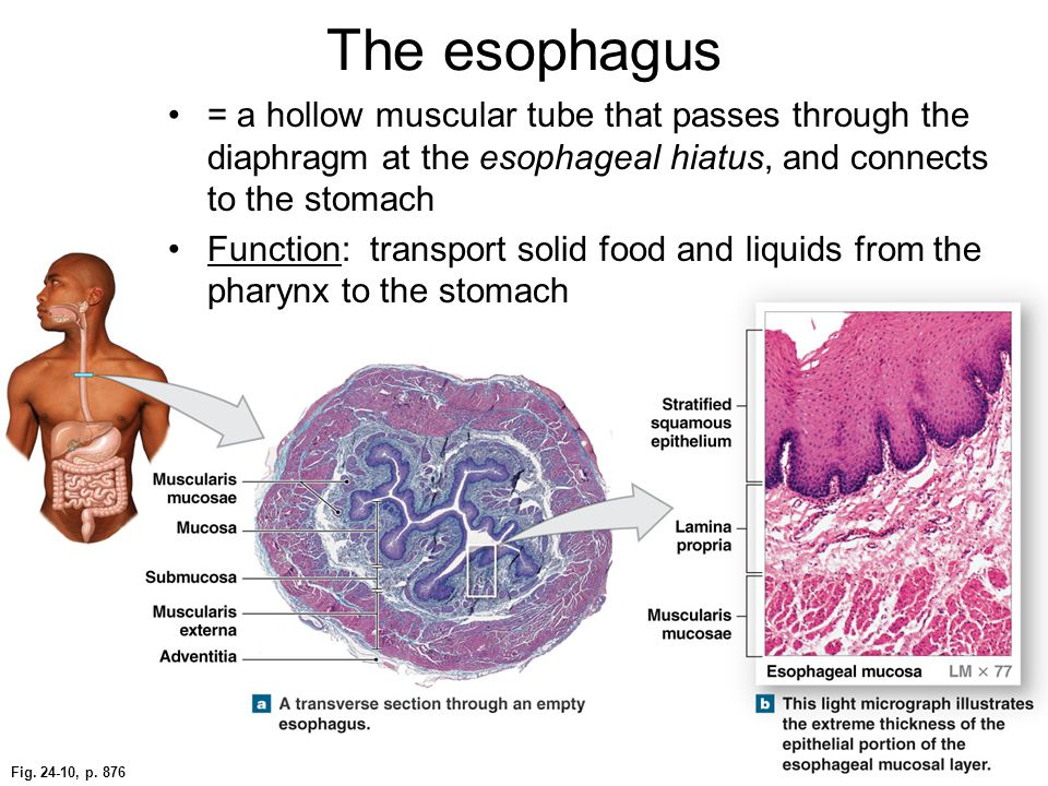 The esophagus = a hollow muscular tube that passes through the diaphragm at the esophageal hiatus, and connects to the stomach.