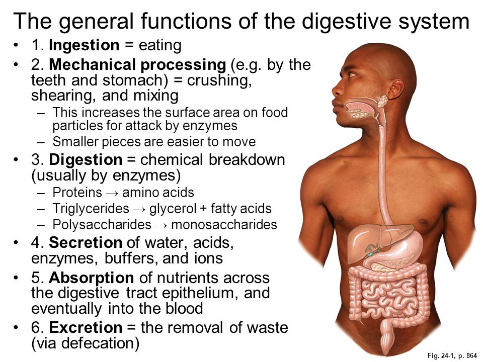 The general functions of the digestive system