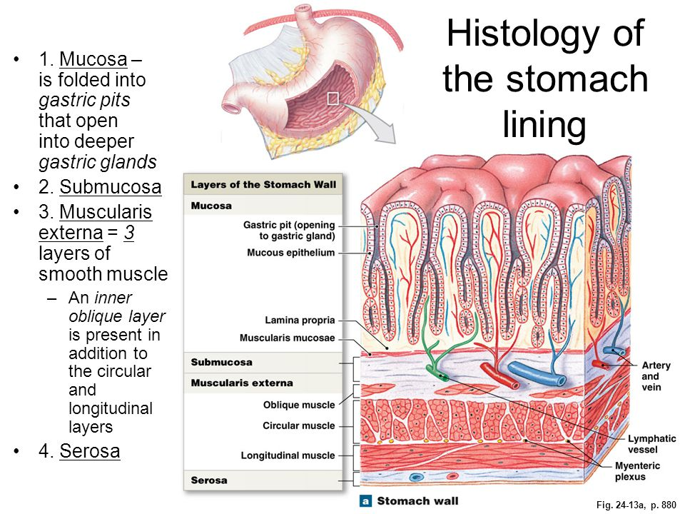 Histology of the stomach lining