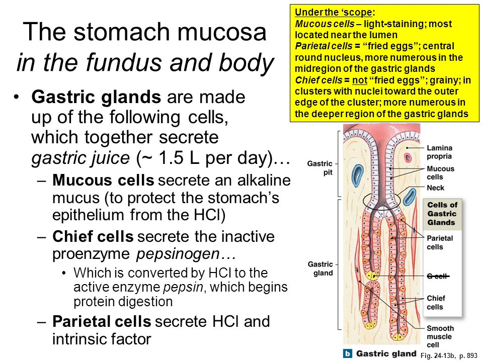 The stomach mucosa in the fundus and body