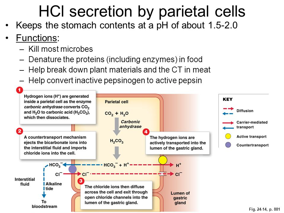 HCl secretion by parietal cells