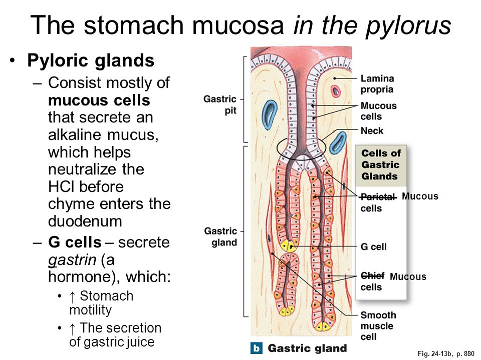 The stomach mucosa in the pylorus