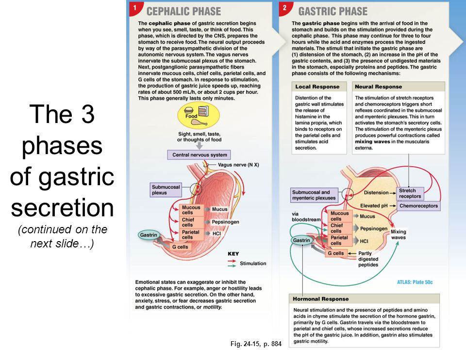 The 3 phases of gastric secretion (continued on the next slide…)