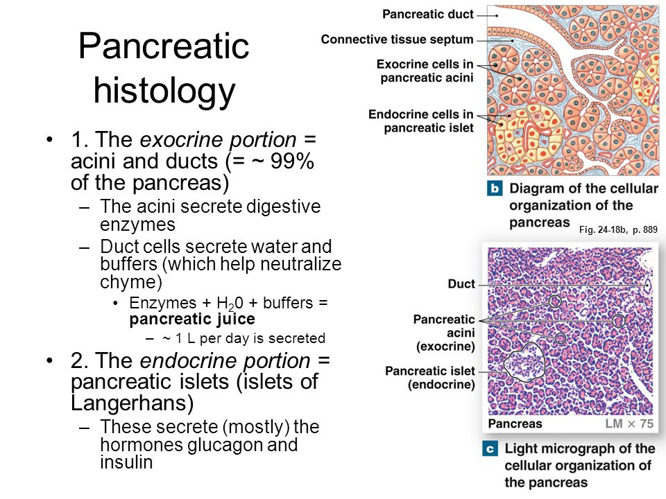 Pancreatic histology 1. The exocrine portion = acini and ducts (= ~ 99% of the pancreas) The acini secrete digestive enzymes.