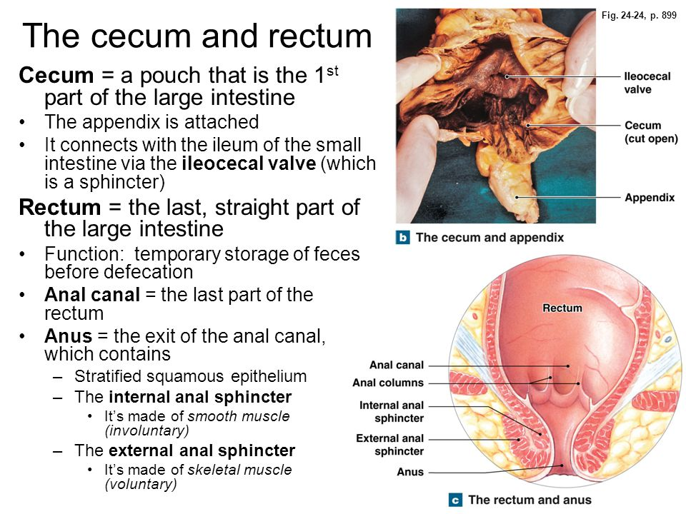 Fig. 24-24, p. 899 The cecum and rectum. Cecum = a pouch that is the 1st part of the large intestine.