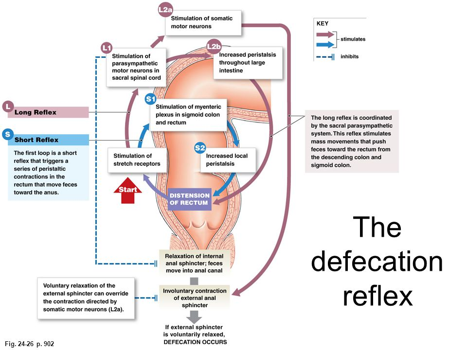 The defecation reflex Fig. 24-26 p. 902