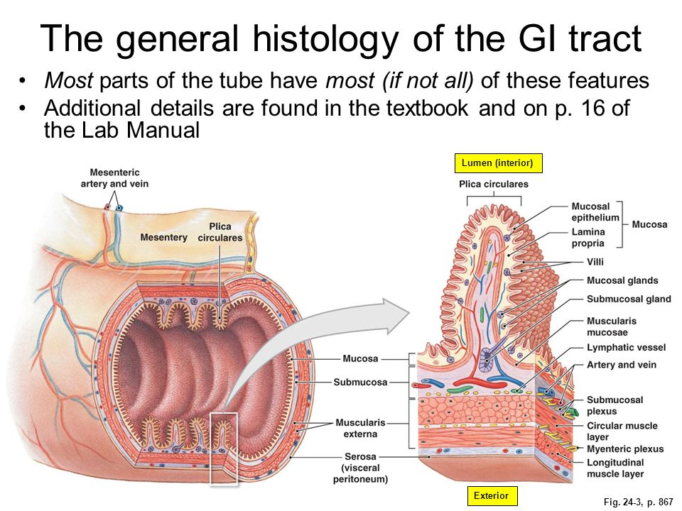 The general histology of the GI tract
