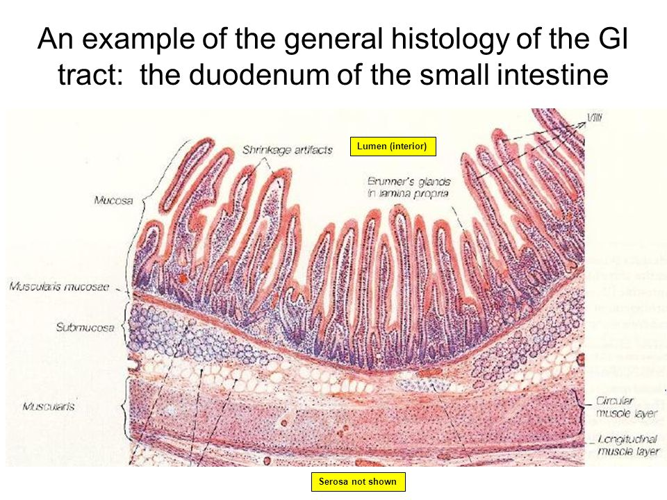 An example of the general histology of the GI tract: the duodenum of the small intestine