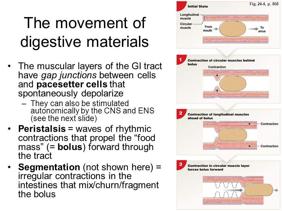 The movement of digestive materials